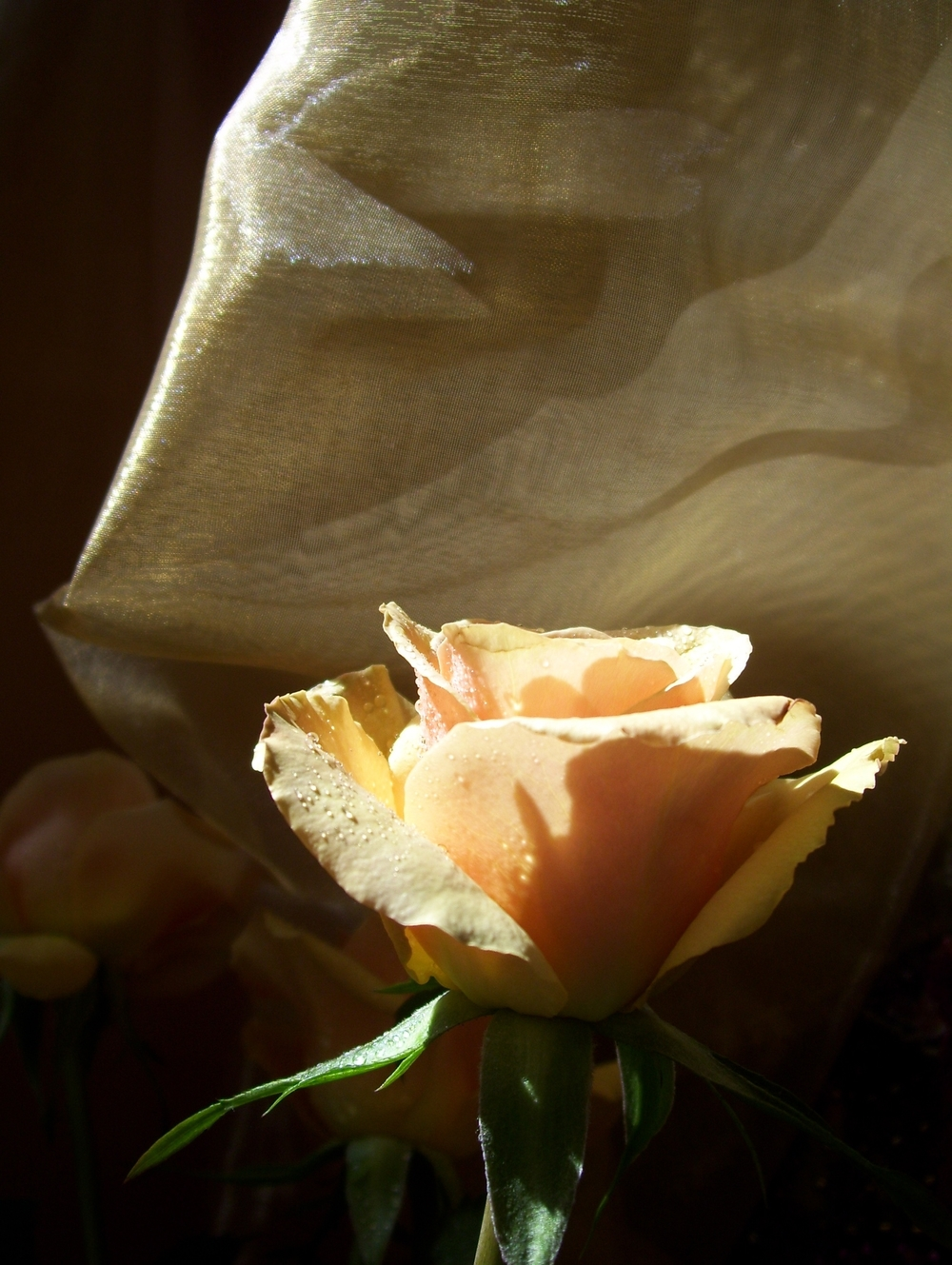 Golden Veil Prayer Rose ©Candy Paull