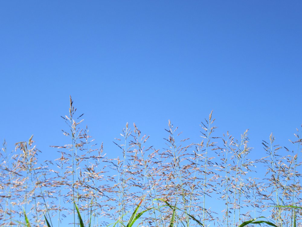 Splendor in the grass: hay seed high against a blue sky