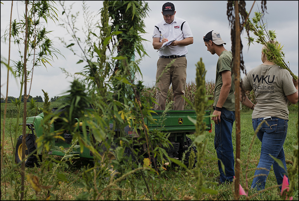 Workers harvest samples of hemp from a test plot at the Western Kentucky University Ag Farm in Bowling Green, KY on Thursday, September 11, 2014. The plot is one of six test plots around the state set up to explore the feasibility of the crop. Photos by Brian Powers