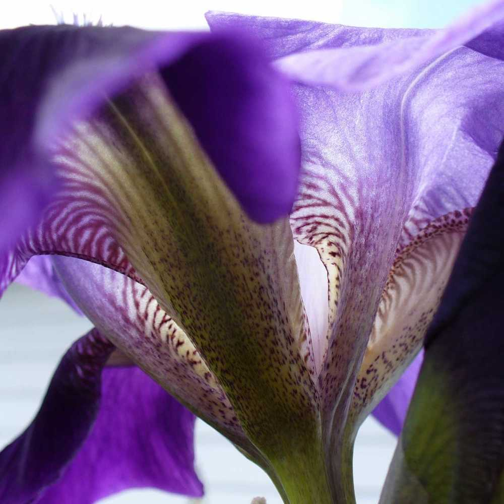 Old Fashioned Bearded Iris