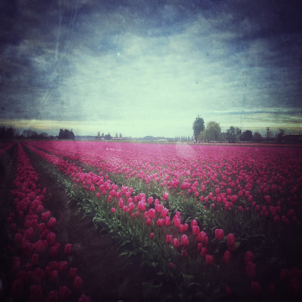 Deep pinkish red tulips.