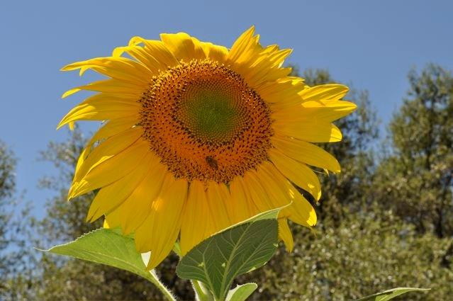 garden sunflower with bee.jpg