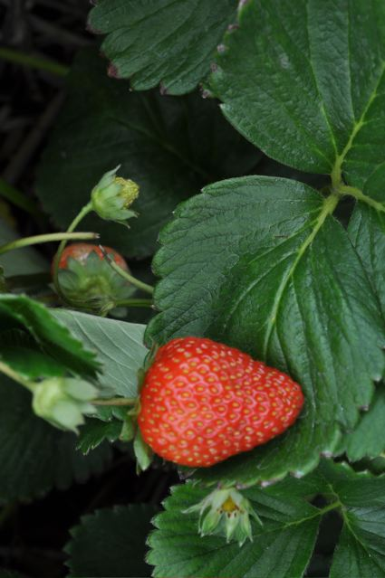 sequoia strawberry.jpg