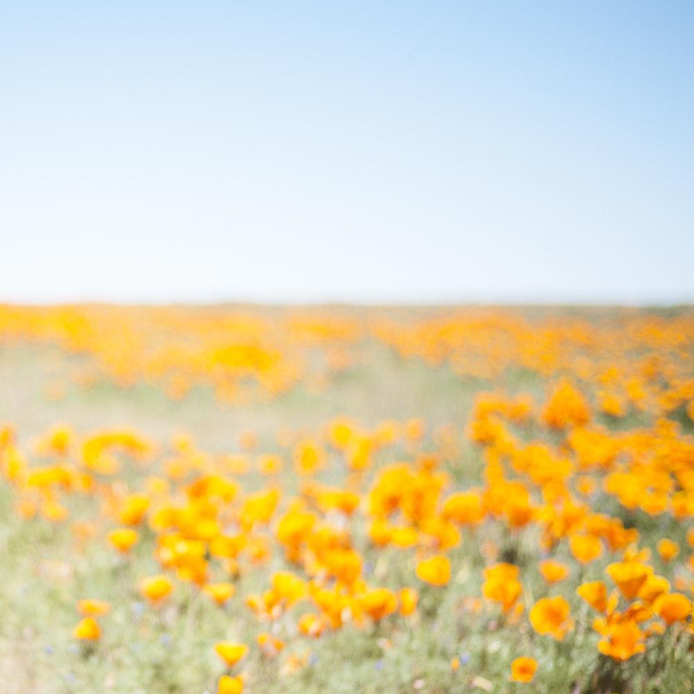 Poppy , Antelope Valley