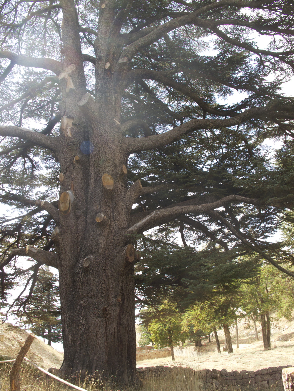 Ancient sacred Cedars of Bsharre, Lebanon, estimated age over 6000 years old.