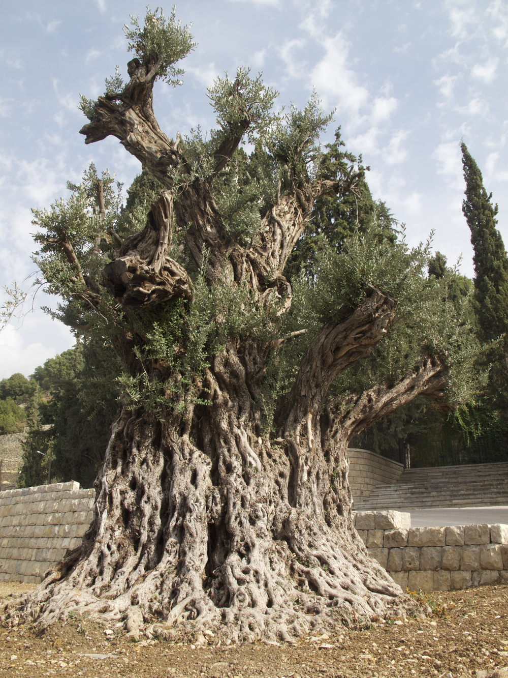 One of the oldest Olive trees in the world, in the Shouf region of Lebanon.