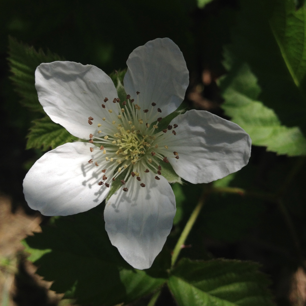 Raspberry flower growing beautifully in dappled garden sun.