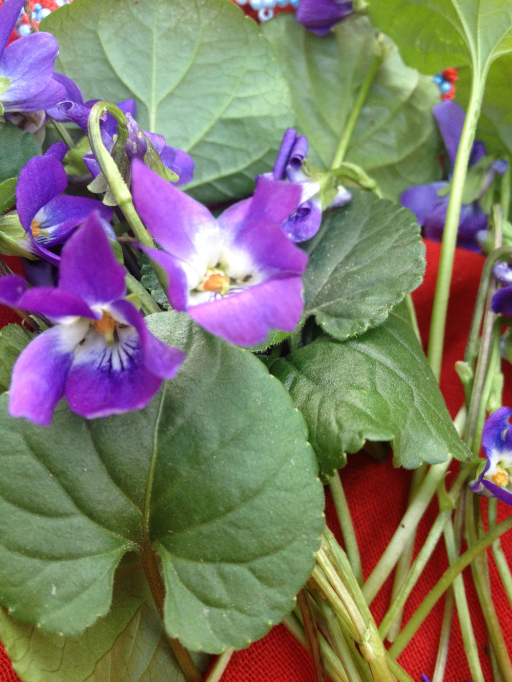 Vibrant Sweet Violet's harvested for medicine making.