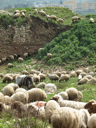 Sheep and a donkey grazing recently discovered pre-Phonecian ruins in my paternal village on the coast of North Lebanon.