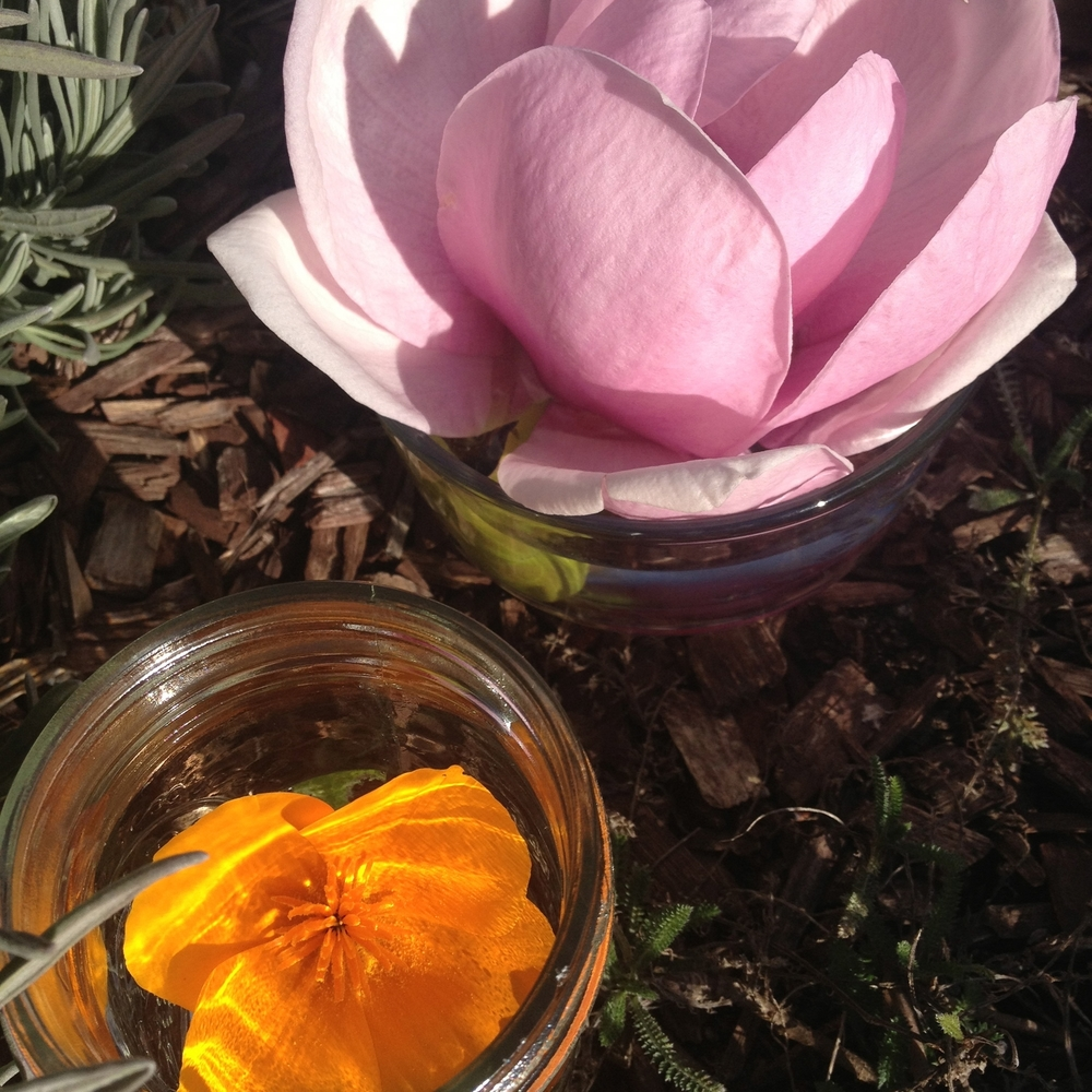 Magnolia and California Poppy flower essences, in the making.