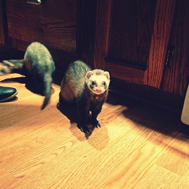 We stayed with our pal, and good friend Dave while we were on tour. He also tagged along to do merch for us. My favorite part was hanging out with his pet ferrets Miko & Max. I miss them already. - Nik    theradiotransmissions :     @bigdavelittlewave Dave had ferrets!