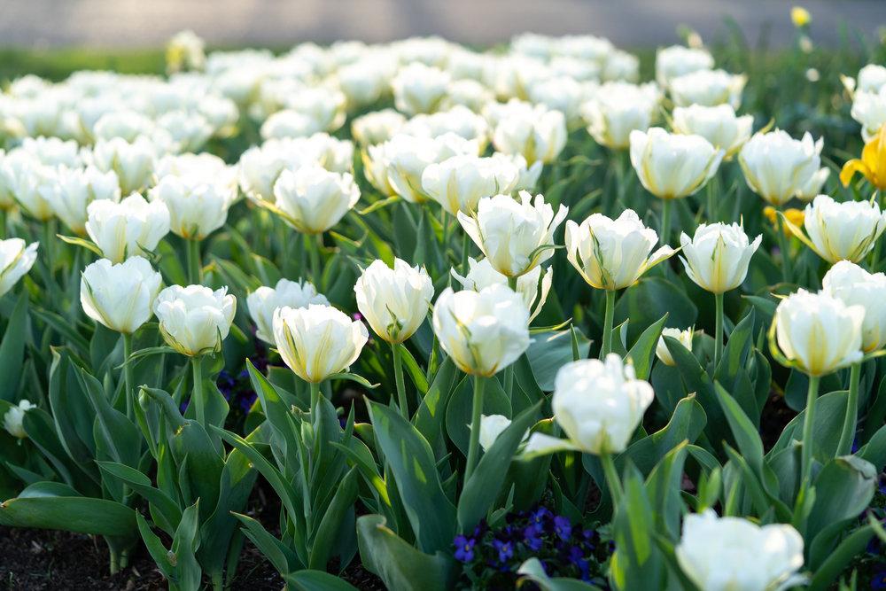 White tulips blooming in Virginia at Meadowlark Botanical Gardens