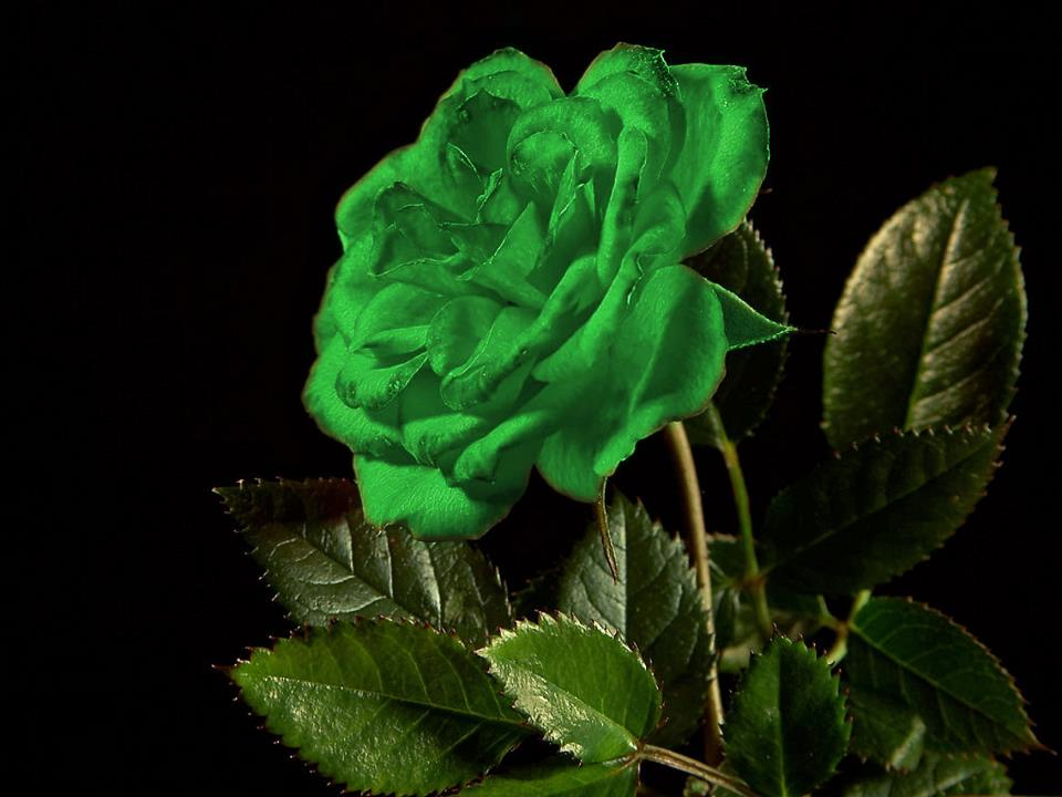 A green rose to all who are currently fighting Gastroparesis.