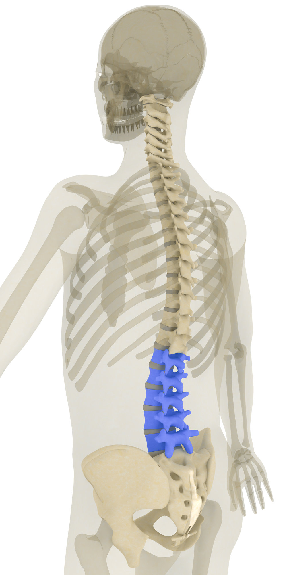 The lumbar region of the vertebral column