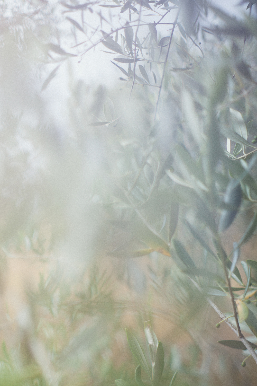 Olive trees are great for wedding photographers and wedding photos