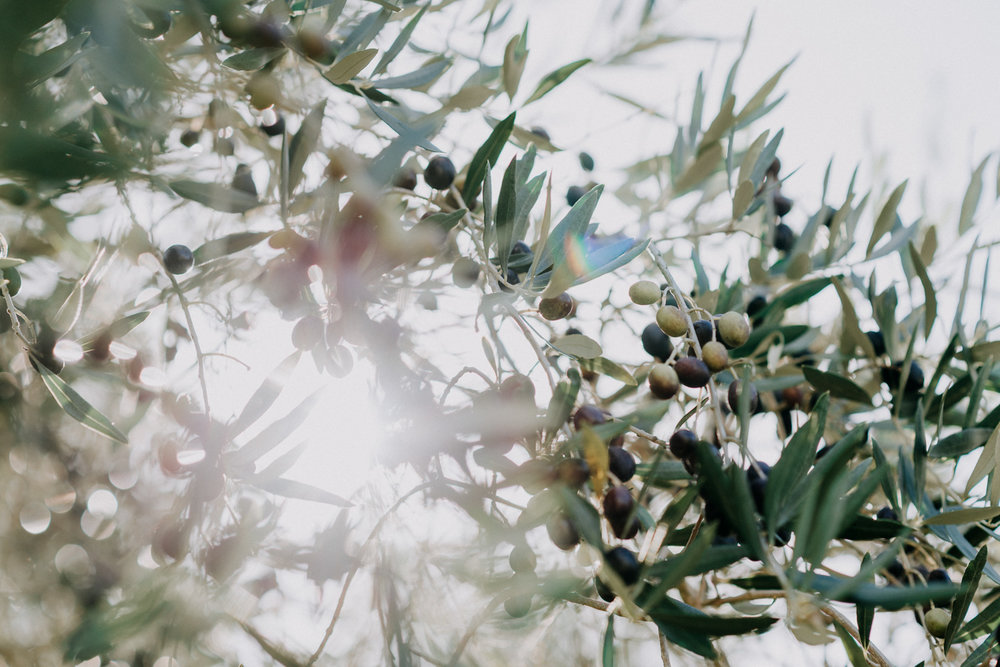 Light shinning through olive trees