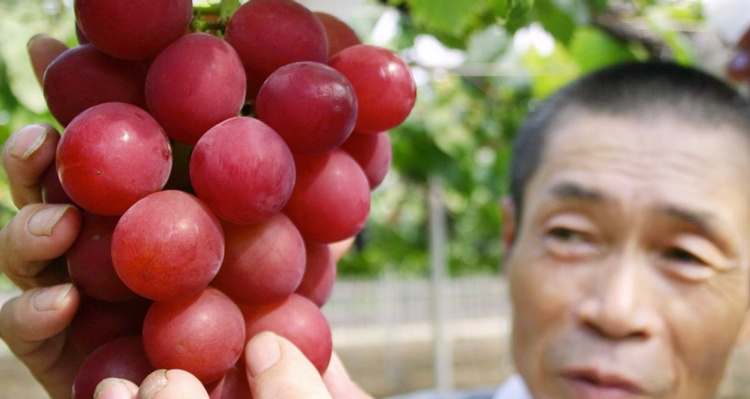 Ruby Roman heter världens dyraste druvslag.. drygt 3,000 kr PER DRUVA!  Foto: YouTube