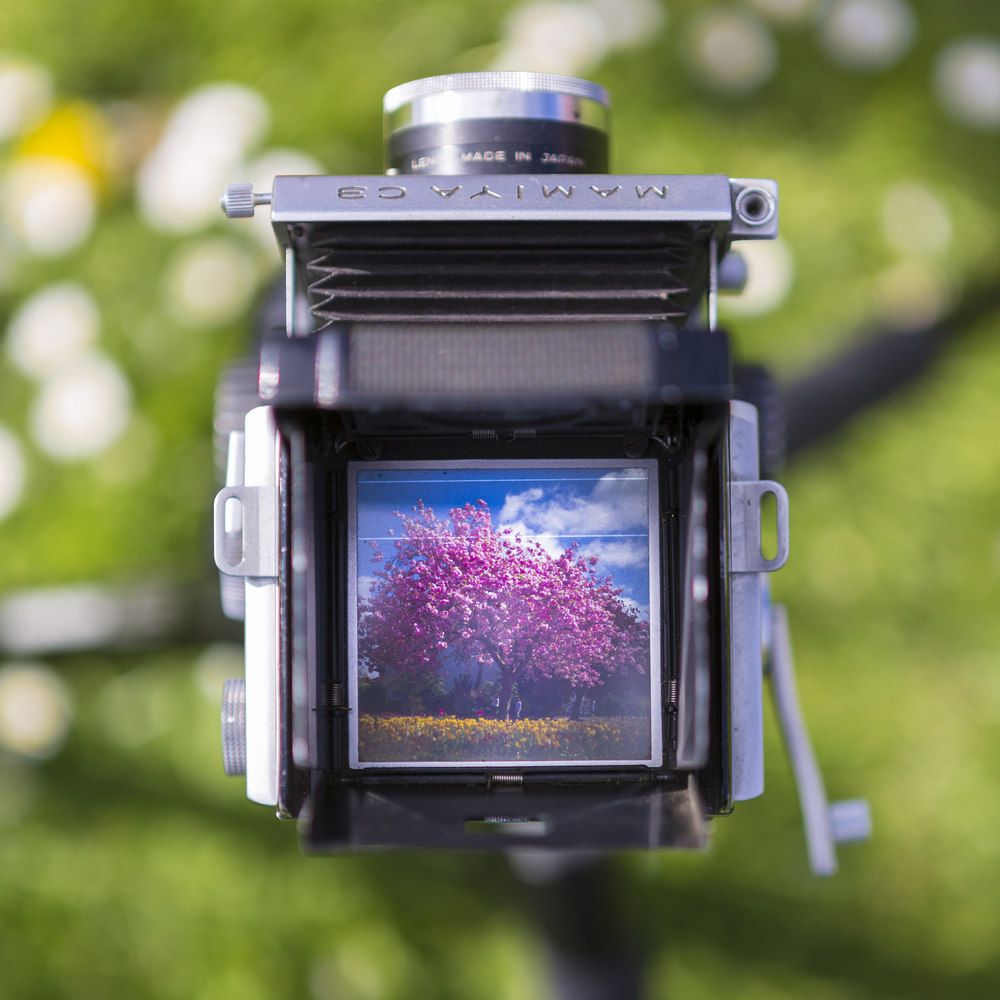 Joe Clarke, Bristol photographer, Mamiya twin lens reflex, ground glass, blossom tree