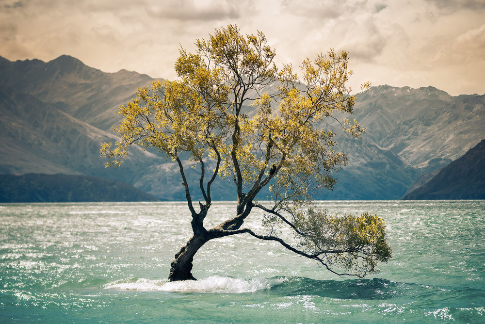 Lake Wanaka, New Zealand, south island, tree in the sea