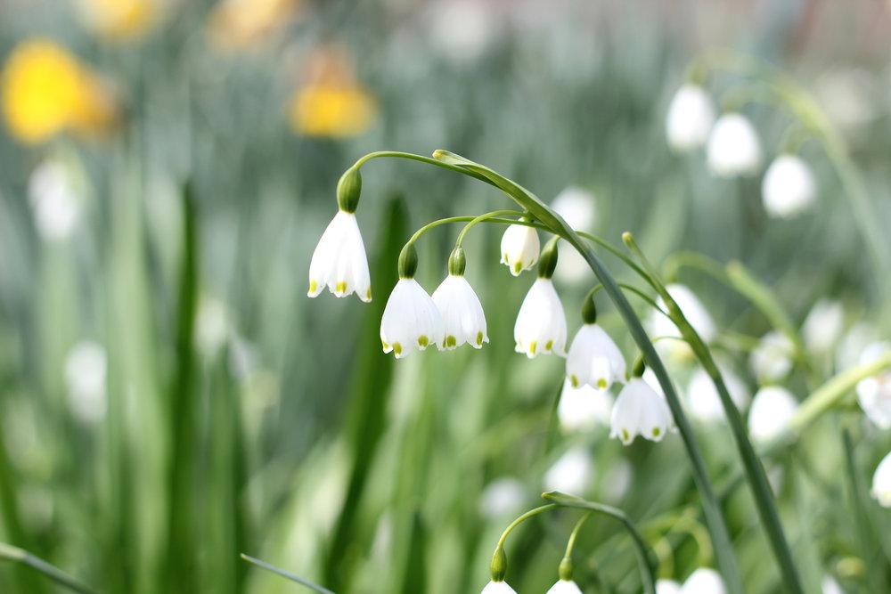 Snowdrops.Botanical name  Galanthus.