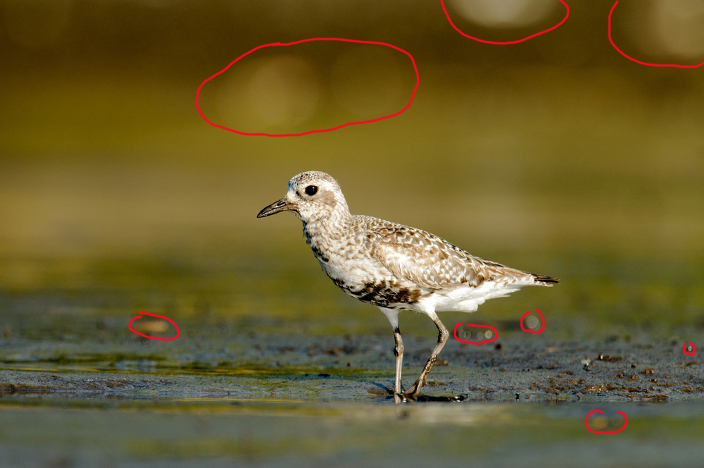 2013_BlackBelliedPlover_Aug_8B.jpg