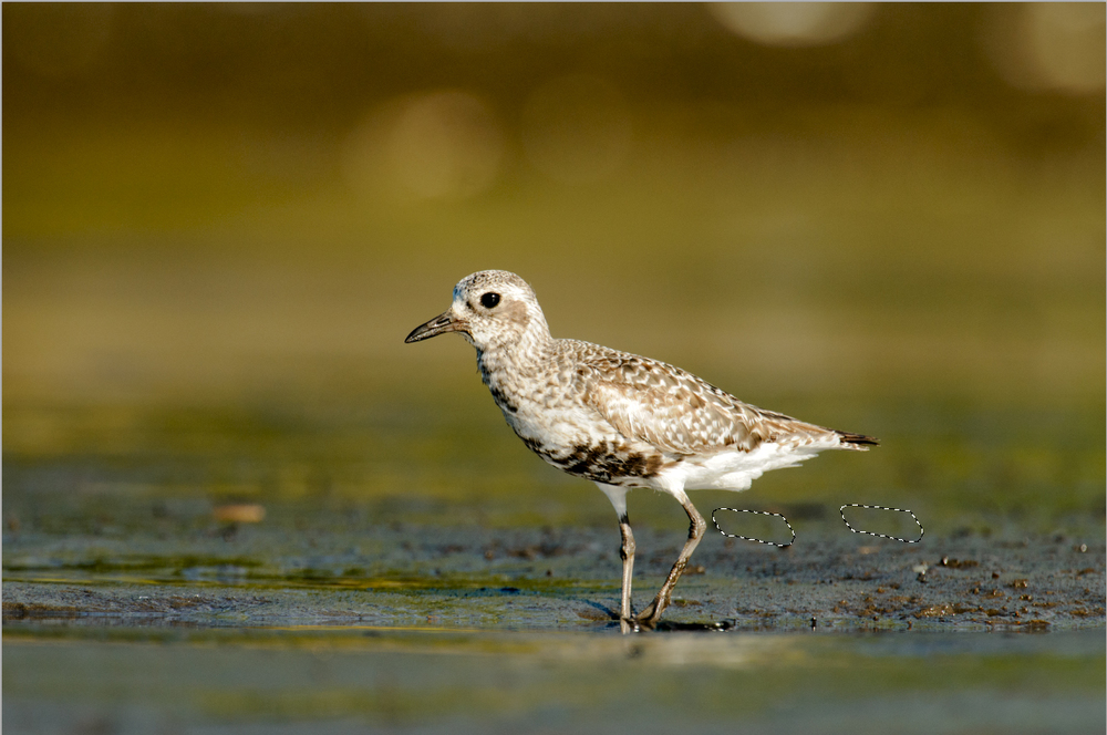 2013_BlackBelliedPlover_Aug_8Sampling.jpg