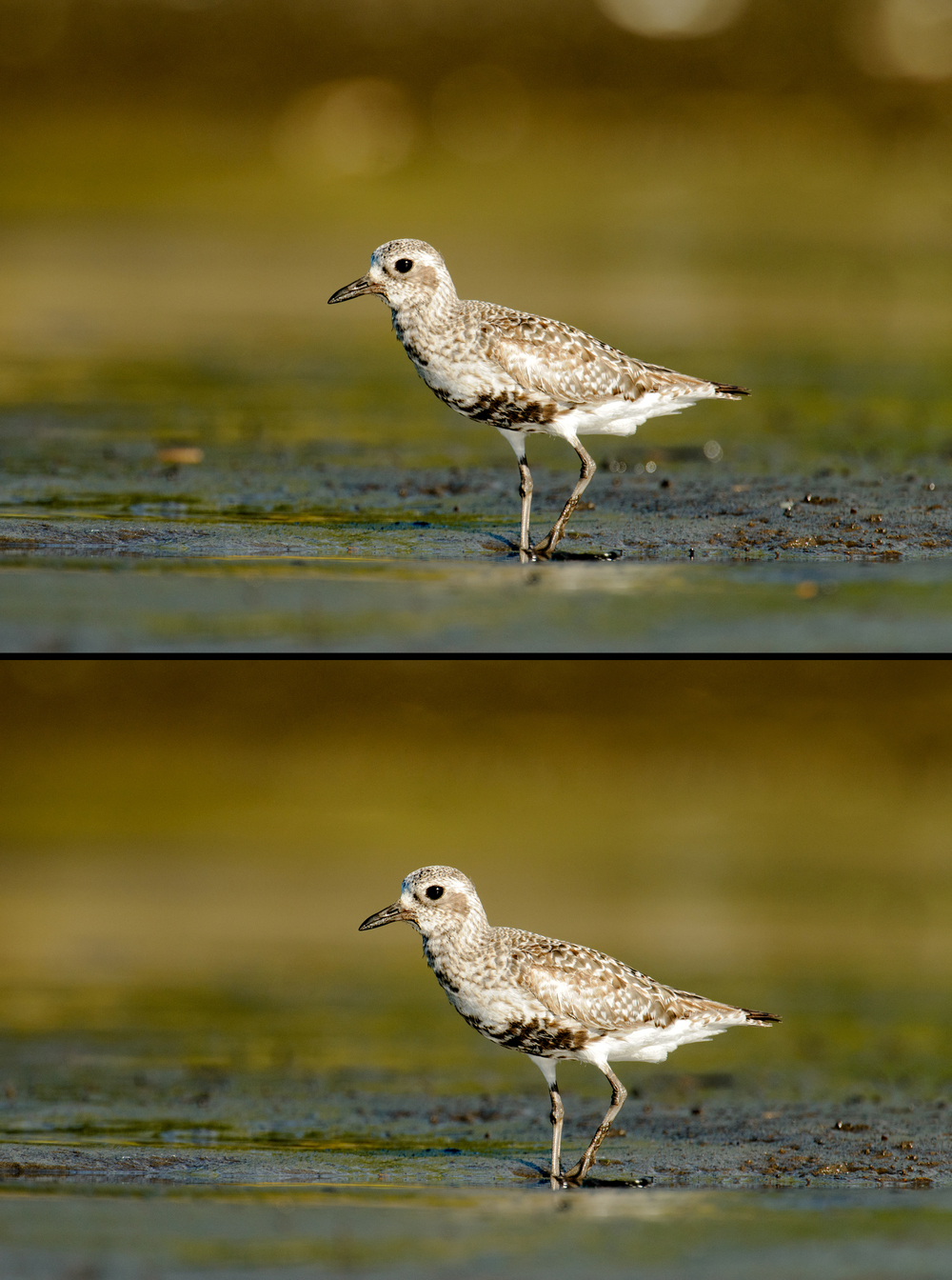 2013_BlackBelliedPlover_Aug_8BA.jpg