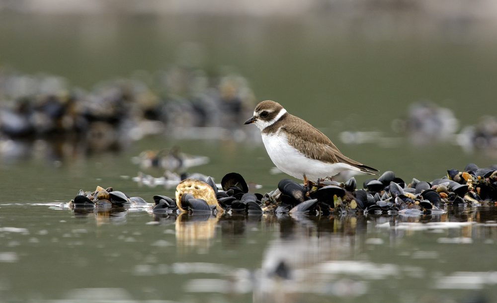 A Semipalmated Plover waiting for the tides to drop