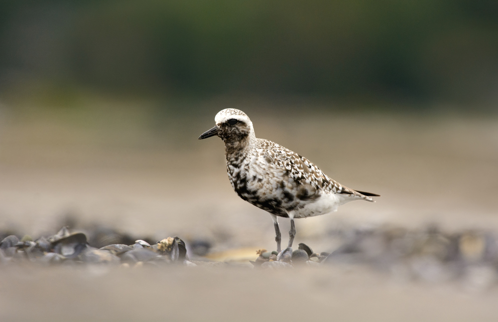 2014_BlackBelliedPlover_Aug_2.jpg