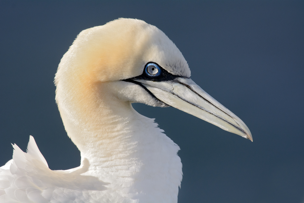 2014_NortherGannet_Sept_10.jpg