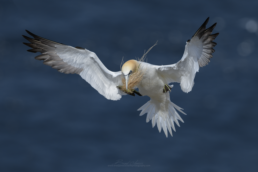 2018_NortherGannet_May_1.png