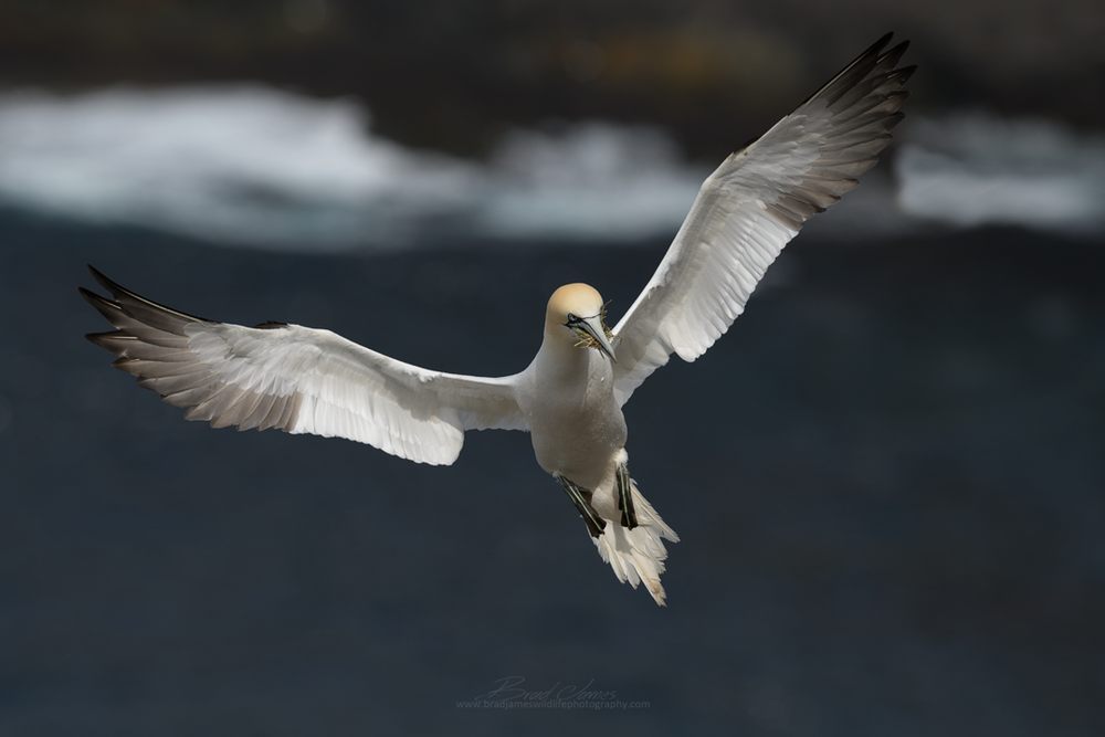 2018_NortherGannet_May_3.png