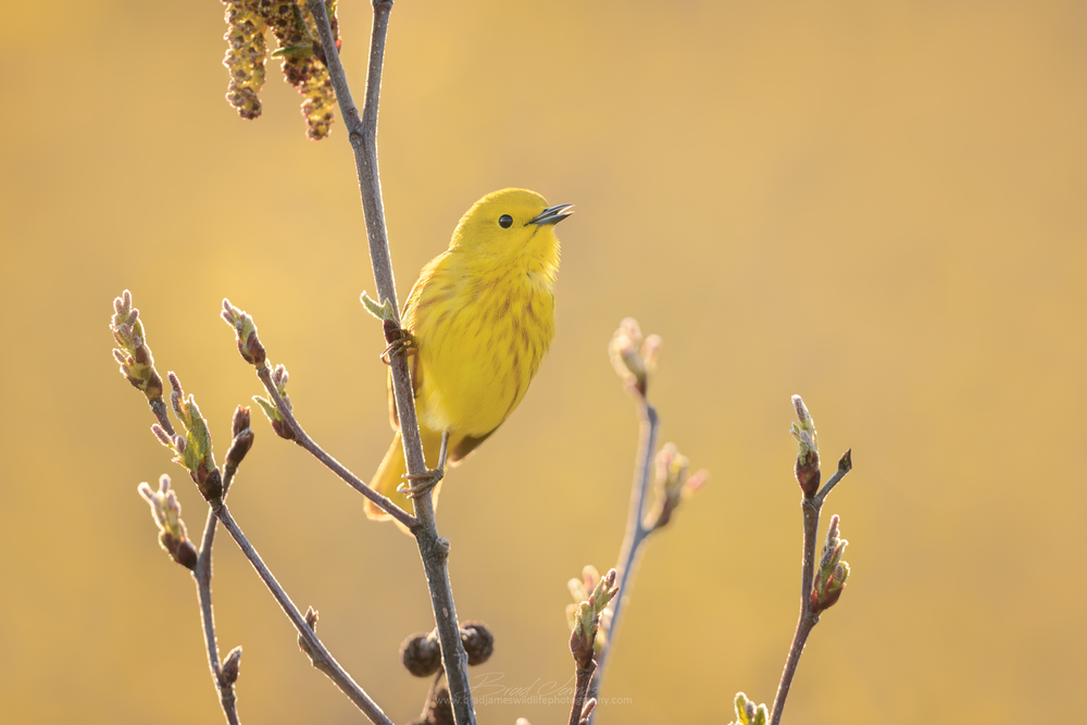 2018_YellowWarbler_May_1_2048.png