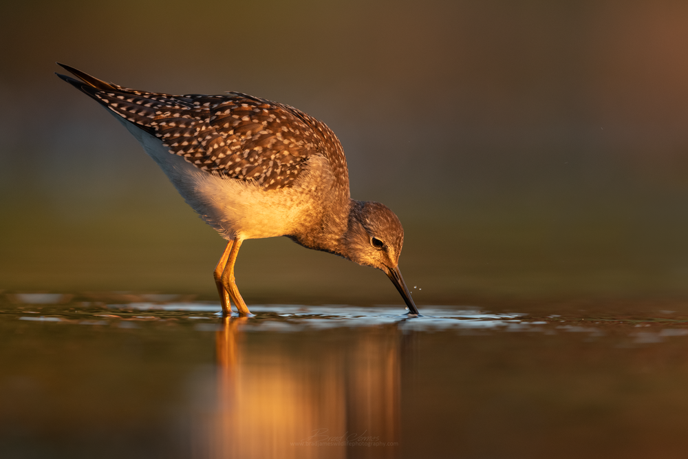 2018_LesserYellowLegs_Aug_3_2048.png