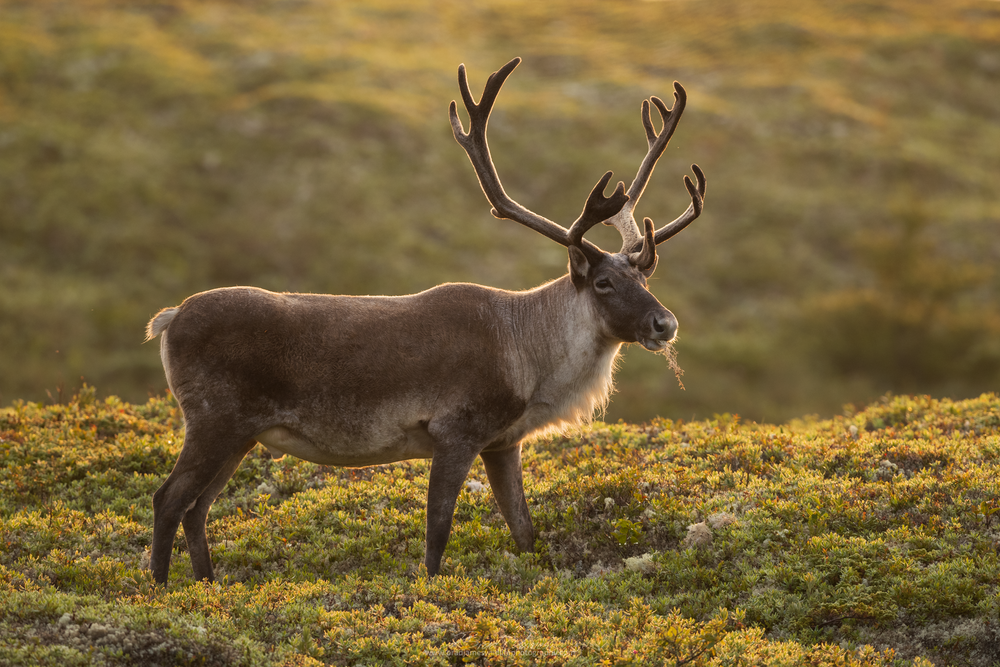 2018_Caribou_Aug_1_2048.png