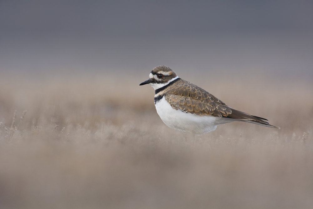 Killdeer2.jpg