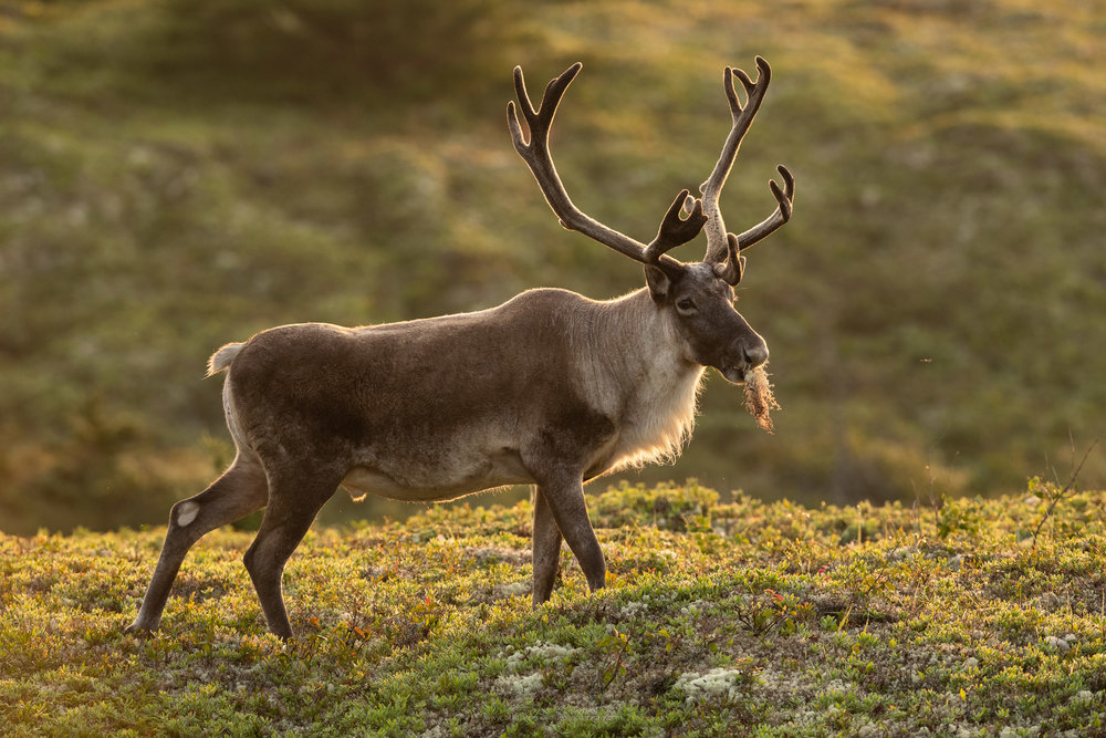 2018_WoodlandCaribou_Aug_1.jpg