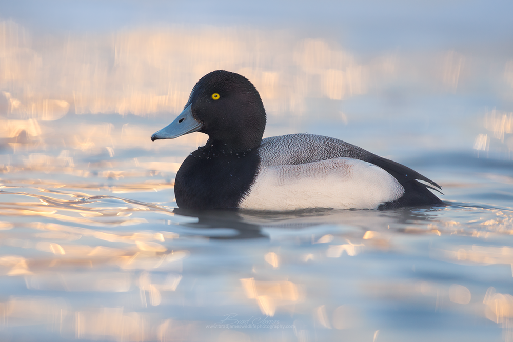 2017_GreaterScaup_Jan_1a.png