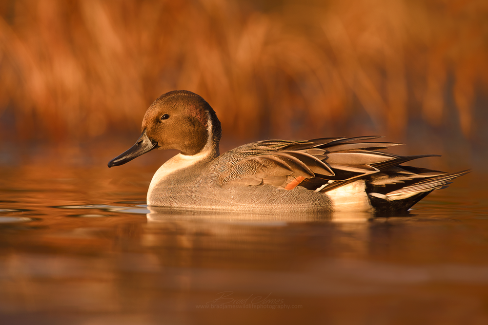 2017_NorthernPintail_Nov_1.png