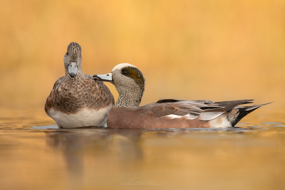 2018_AmericanWigeon_Oct_1.png