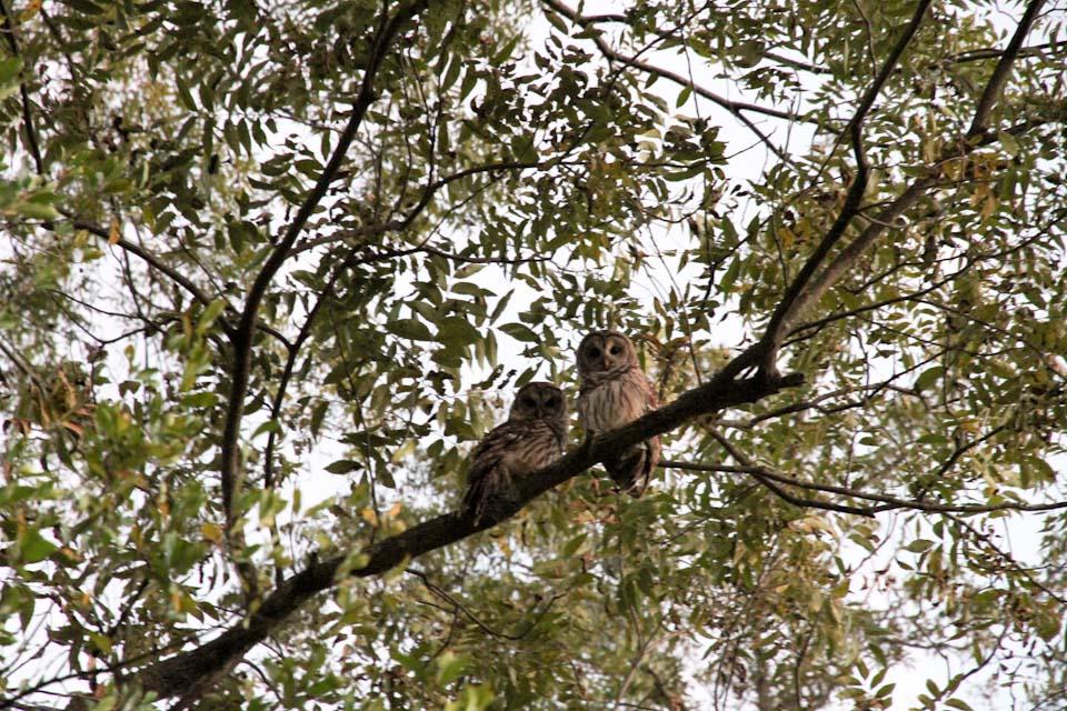 KB_owls-4608.jpg