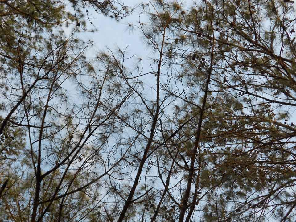 RW_Pinetrees-0813.JPG