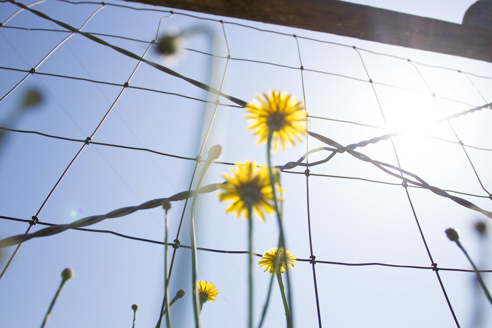dandelion fence-3703.jpg