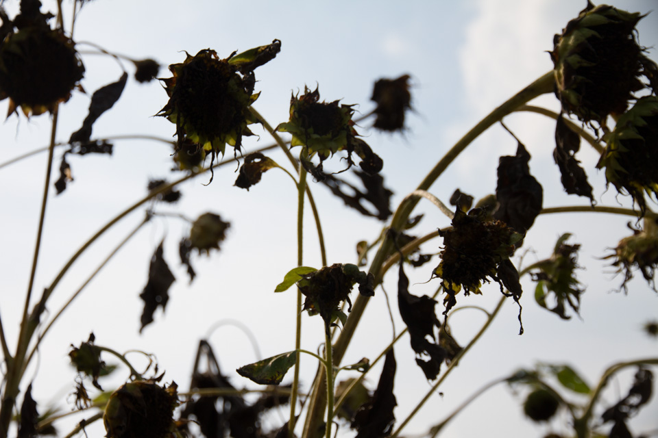 KB_sunflowersilhouettes-4804.jpg