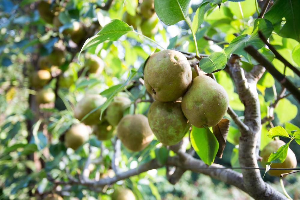 wild pears-2496.jpg