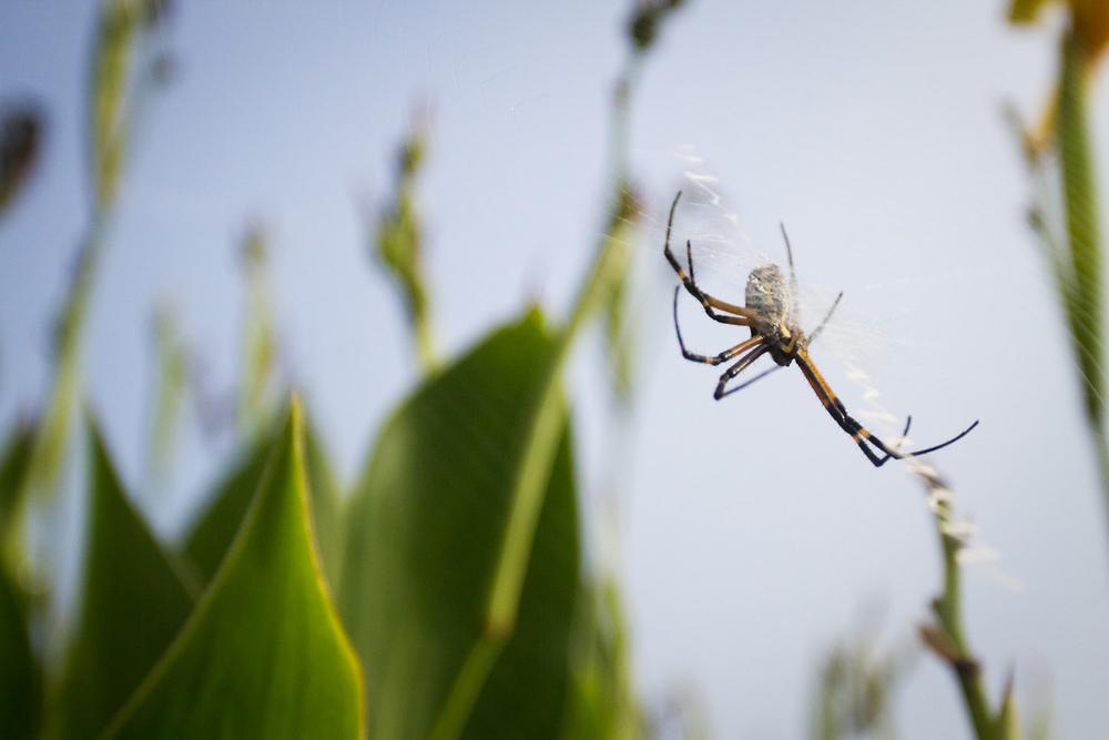 zipper_spider-1109.jpg