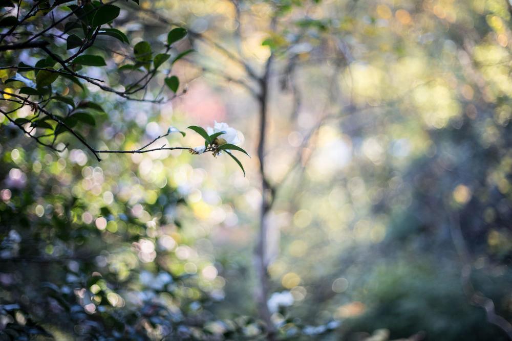 sasanqua-9222.jpg