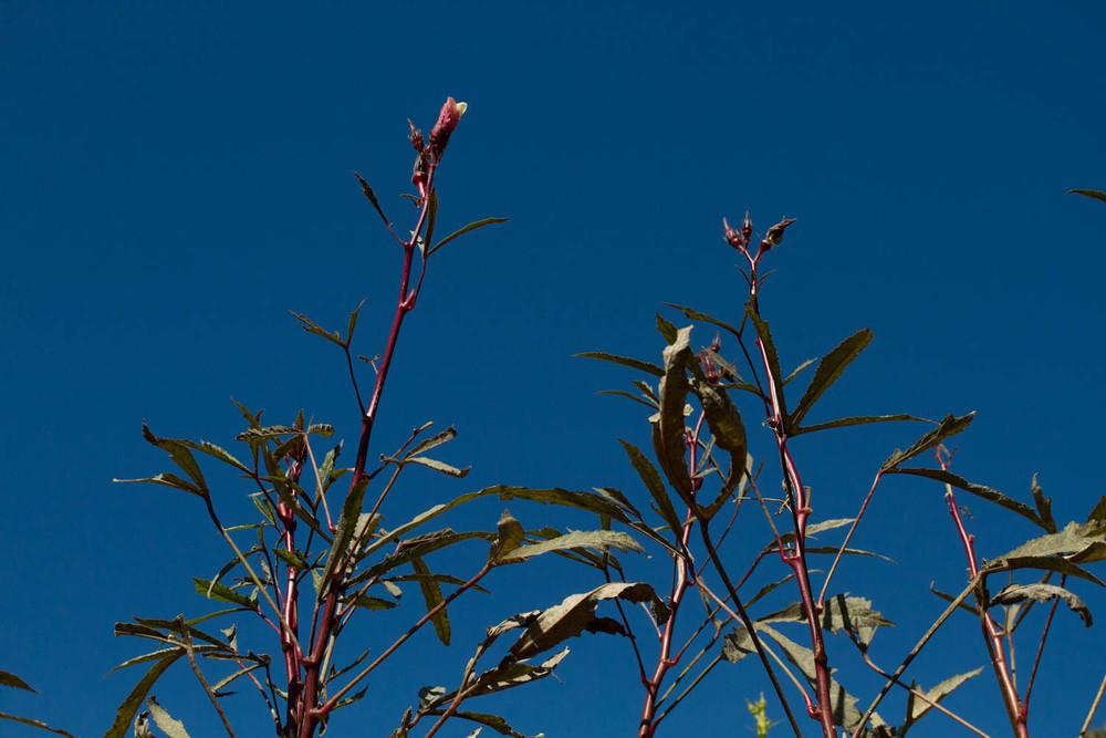 okra and sky-6041.jpg