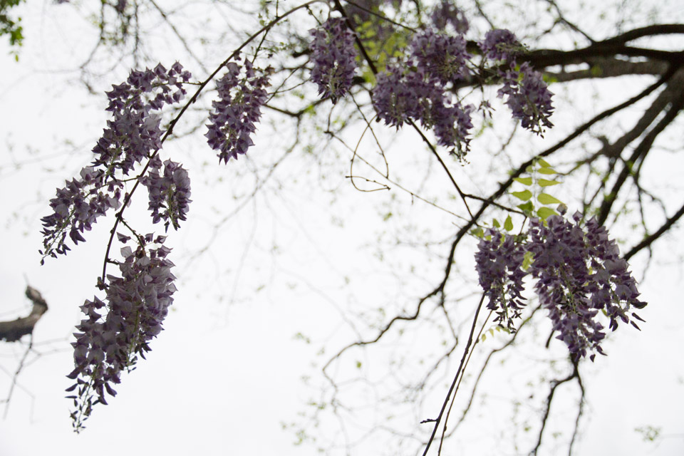 KB_wisteria-6893.jpg