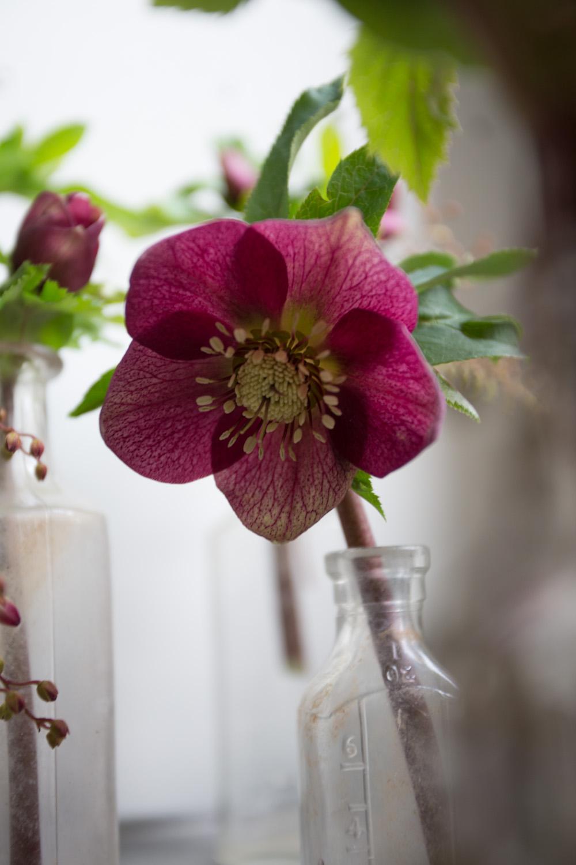 early blooms_hellebores-9684.jpg
